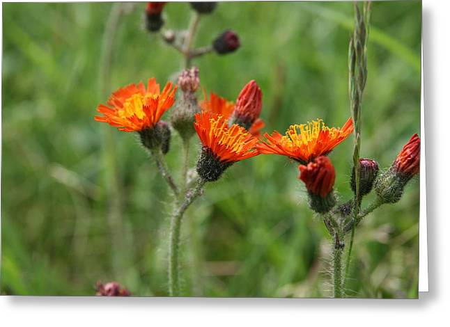 Neal Eslinger Photography Greeting Cards - Devils Paintbrush Greeting Card by Neal  Eslinger