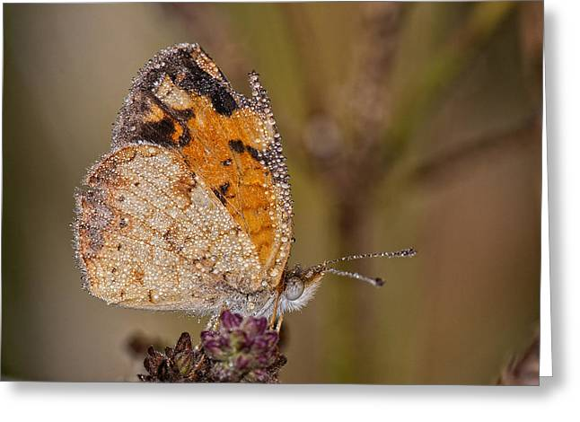 Dew Drenched Pearl Crescent Butterfly Greeting Card by Bonnie Barry