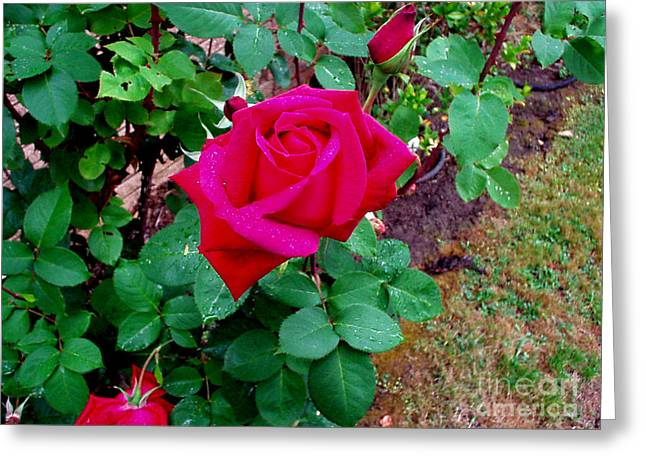 Howard Kephart Greeting Cards - Dew Kissed Red  Rose Greeting Card by The Kepharts