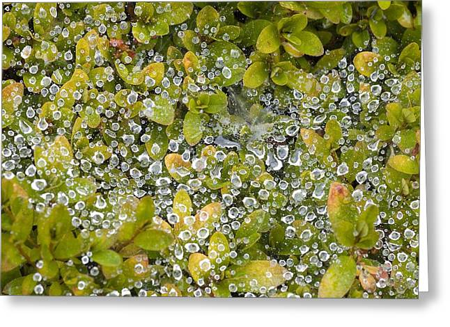 Dewdrops Greeting Cards - Dew On A Bush Greeting Card by Craig Tuttle