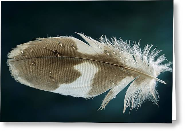 Dewdrops Greeting Cards - Dewey Feather Greeting Card by Jean Noren