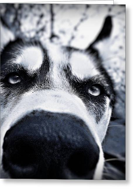 Huskies Photographs Greeting Cards - Diabolical Damien  Greeting Card by Celestial  Blue