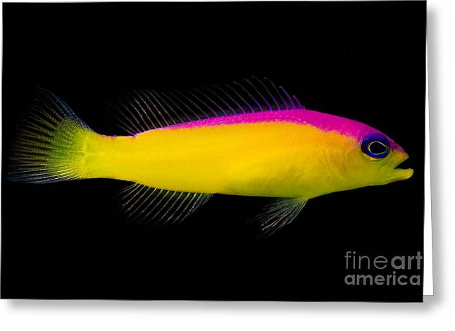 Reef Fish Greeting Cards - Diadema Dottyback Greeting Card by Danté Fenolio