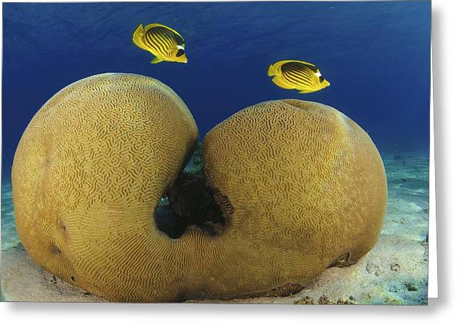 Aquatic Greeting Cards - Diagonal Butterflyfish Greeting Card by Photostock-israel