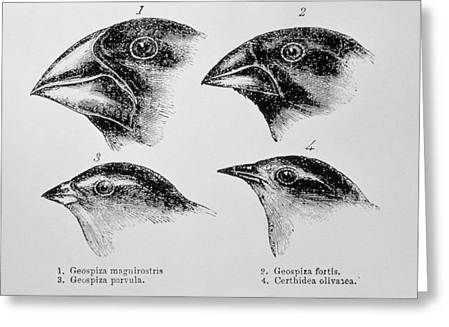 Historical Images Greeting Cards - Diagram Of Beaks Of Galapagos Finches By Darwin Greeting Card by Dr Jeremy Burgess