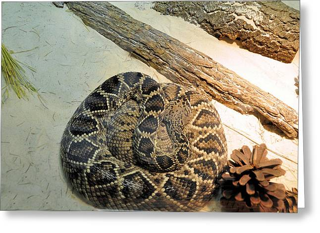 Diamond Back Rattler Greeting Card by Jan Amiss Photography