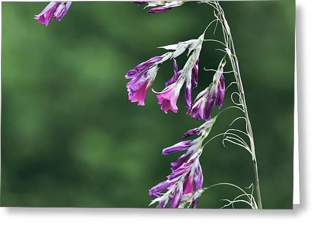 Dierama Pulcherrimum In Flower Greeting Card by Colin Varndell