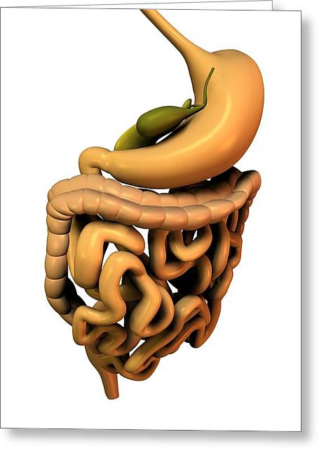 Gi Greeting Cards - Digestive System, Artwork Greeting Card by Friedrich Saurer