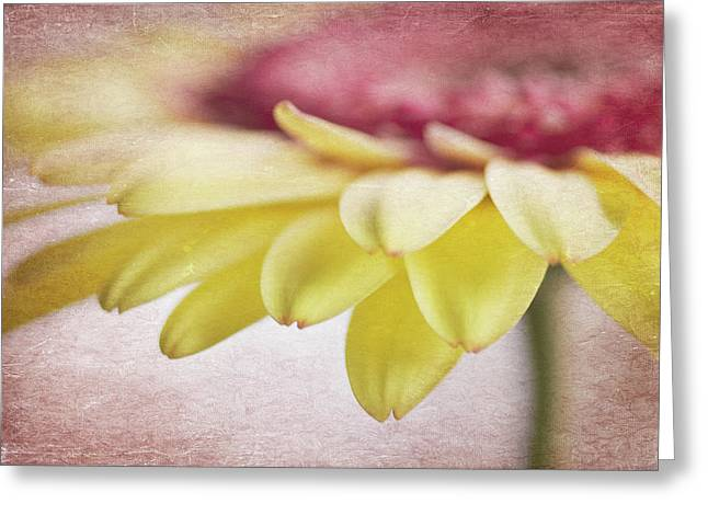 Daisy Greeting Cards - Dimensions Greeting Card by Rebecca Cozart