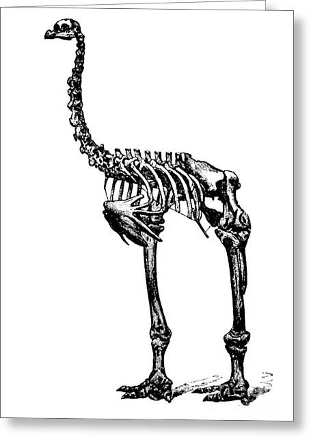Moa Greeting Cards - Dinornis, Giant Moa, Cenozoic Bird Greeting Card by Science Source