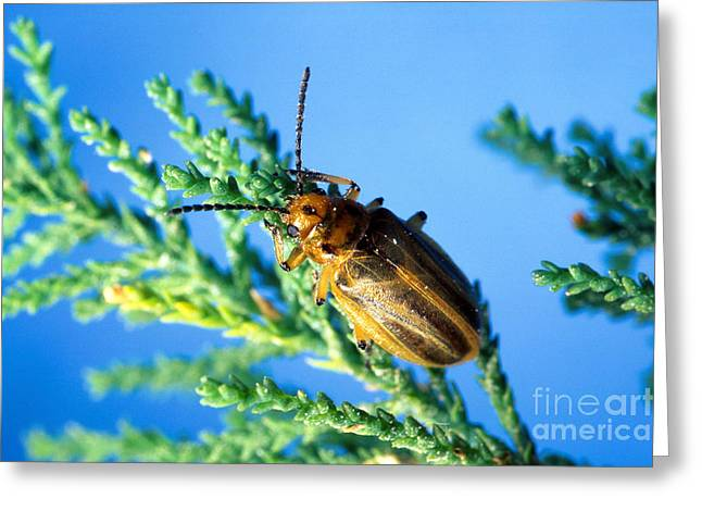 Insect Control Greeting Cards - Diorhabda Elongata Leaf Beetle Greeting Card by Science Source