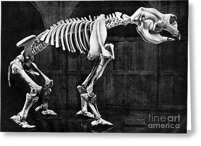 Pre-restoration Greeting Cards - Diprotodon, Cenozoic Mammal Greeting Card by Science Source