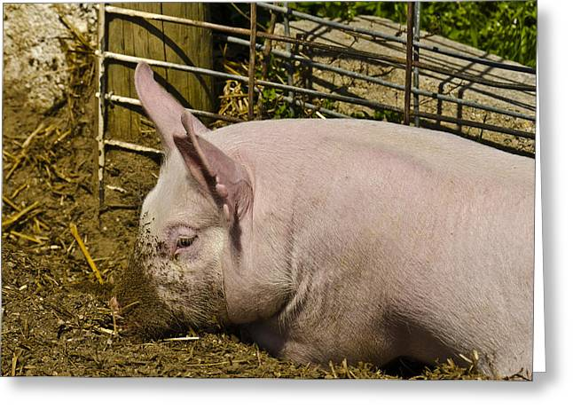 The Agricultural Life Greeting Cards - Dirty Piggy Greeting Card by LeeAnn McLaneGoetz McLaneGoetzStudioLLCcom