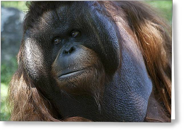 Orang-utans Greeting Cards - Disapproving Glance Greeting Card by Heiko Koehrer-Wagner