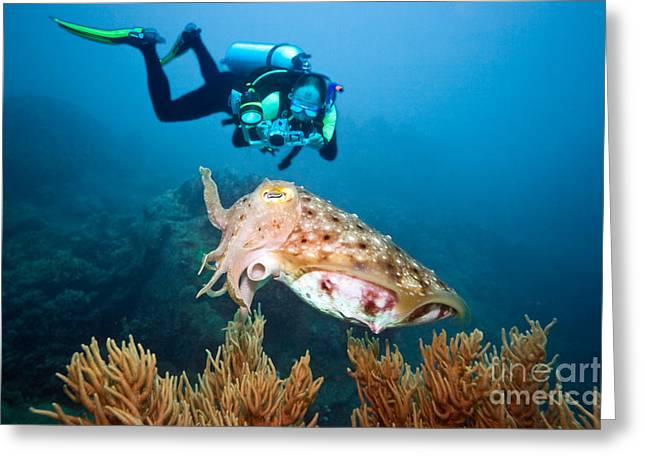 Snorkel Greeting Cards - Diver and cuttlefish Greeting Card by MotHaiBaPhoto Prints