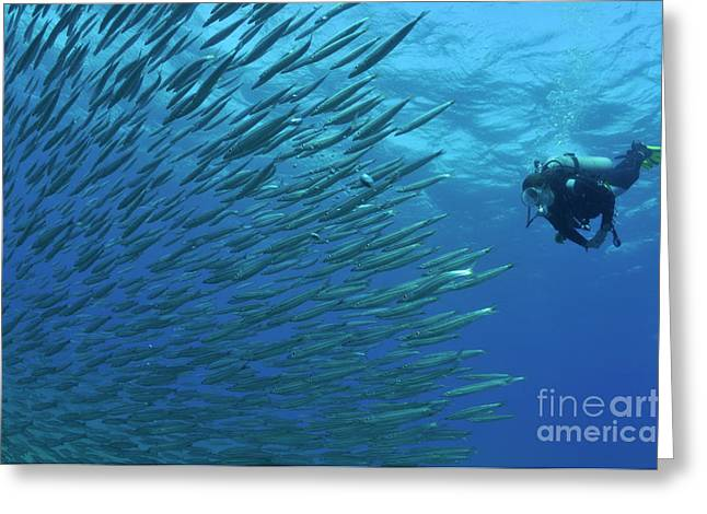 Undersea Photography Greeting Cards - Diver looking at juveniles barracuda schooling near surface Greeting Card by Sami Sarkis