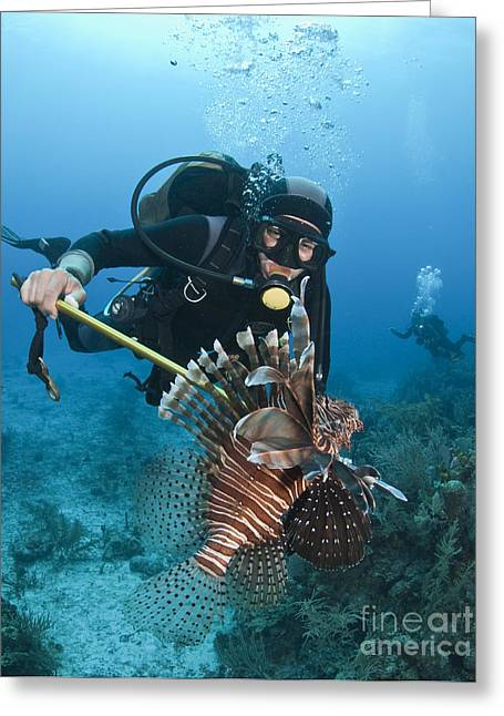 Scuba Diving Greeting Cards - Diver Spears An Invasive Indo-pacific Greeting Card by Karen Doody