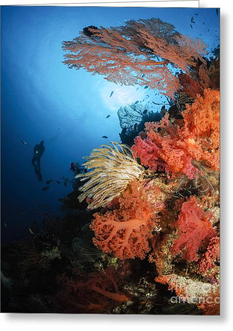 Cnidaria Greeting Cards - Diver Swims By A Soft Coral Reef Greeting Card by Todd Winner