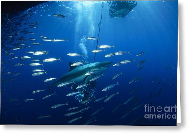 Baitfish Greeting Cards - Divers Viewing Great White Shark Greeting Card by Todd Winner