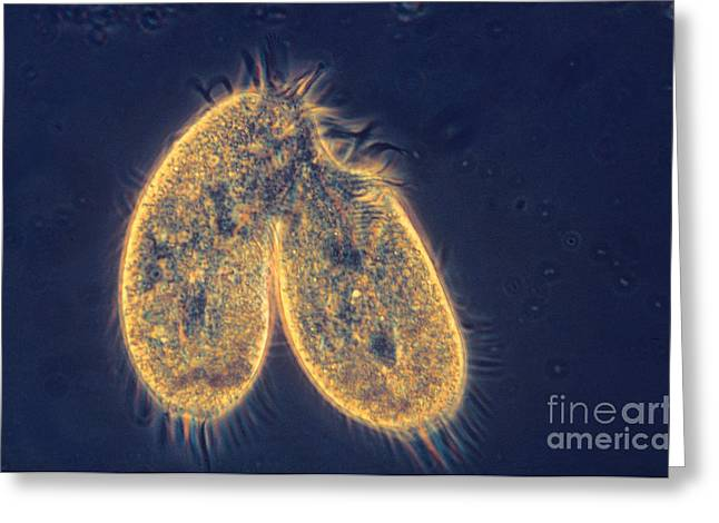 Protist Greeting Cards - Dividing Stylonychia Greeting Card by Eric V. Grave