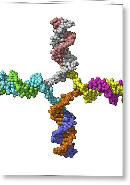Crossing Over Greeting Cards - Dna Recombination, Molecular Model Greeting Card by Laguna Design