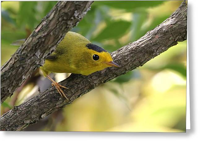 Warblers Greeting Cards - Do You Like My Hat? Greeting Card by Angie Vogel