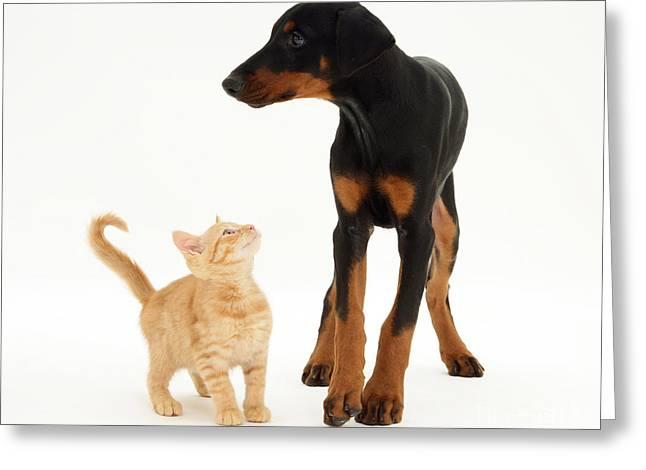 Doberman Pinscher Puppy Greeting Cards - Doberman And Kitten Greeting Card by Jane Burton