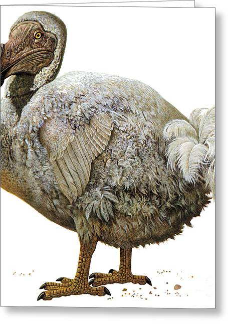 Dodo Greeting Cards - Dodo Bird Greeting Card by Photo Researchers