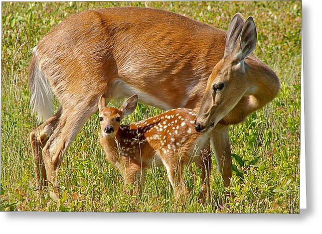 Doe And Fawn Greeting Card by Jack Nevitt
