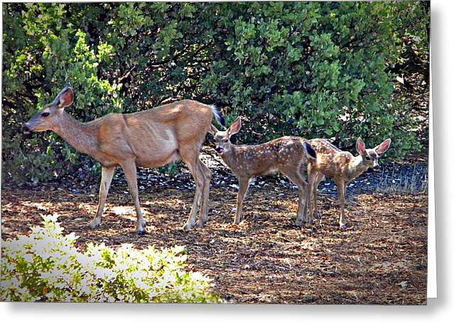 Doe And Twin Fawns Greeting Card by Frank Wilson