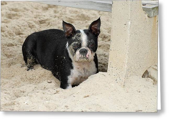 Boston Terrier Framed Prints Greeting Cards - Dog 114 Greeting Card by Joyce StJames
