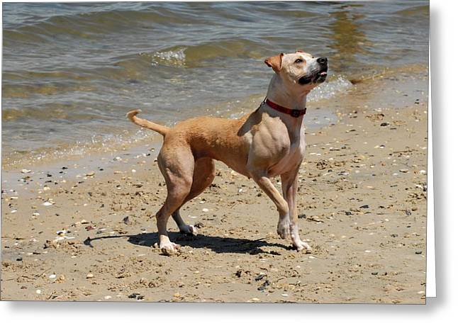 Dog Beach Card Greeting Cards - Dog 64 Greeting Card by Joyce StJames