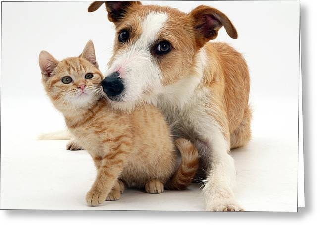 Lurcher Greeting Cards - Dog And Kitten Greeting Card by Jane Burton