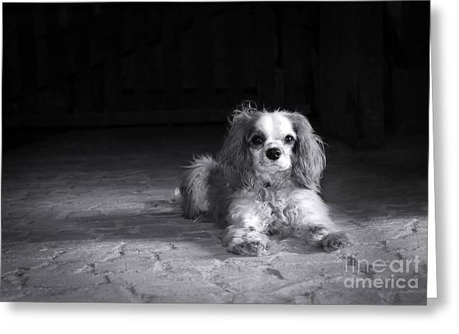Scruffy Greeting Cards - Dog black and white Greeting Card by Jane Rix