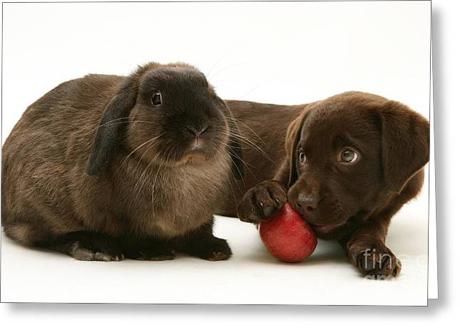 Chocolate Lab Greeting Cards - Dog Eating Apple With Rabbit Greeting Card by Jane Burton