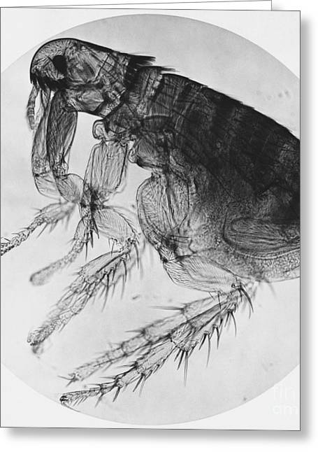 Micrography Greeting Cards - Dog Flea Greeting Card by Omikron