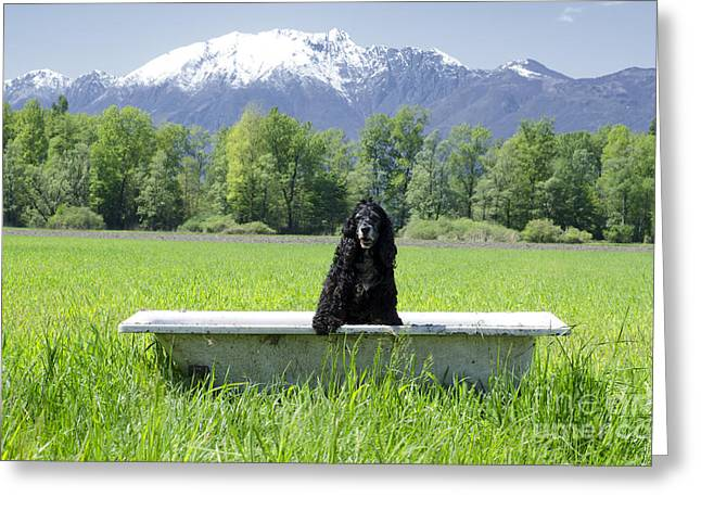 Swiss Photographs Greeting Cards - Dog in bathtub Greeting Card by Mats Silvan