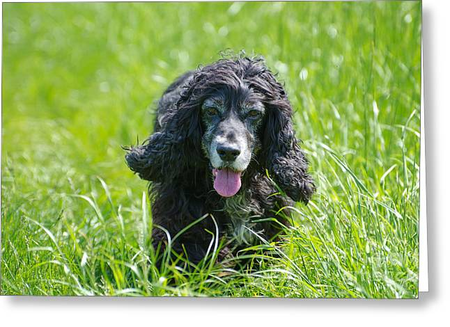 Dog Running. Greeting Cards - Dog on the grass Greeting Card by Mats Silvan