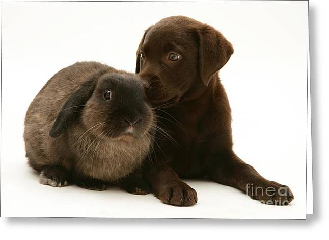 Chocolate Lab Greeting Cards - Dog Pup With Rabbit Greeting Card by Jane Burton