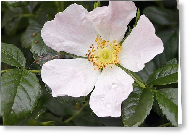 Dog Rose (rosa Canina) Greeting Card by Adrian Bicker