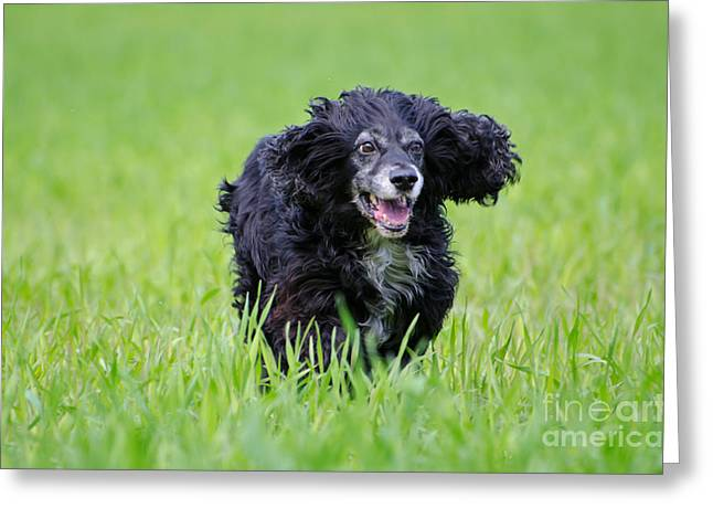 Spaniel Greeting Cards - Dog running on the green field Greeting Card by Mats Silvan