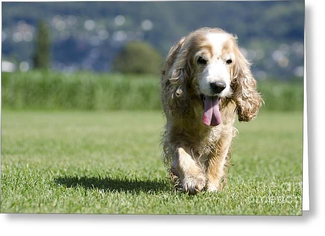 Dog Hair Greeting Cards - Dog walking on the green grass Greeting Card by Mats Silvan