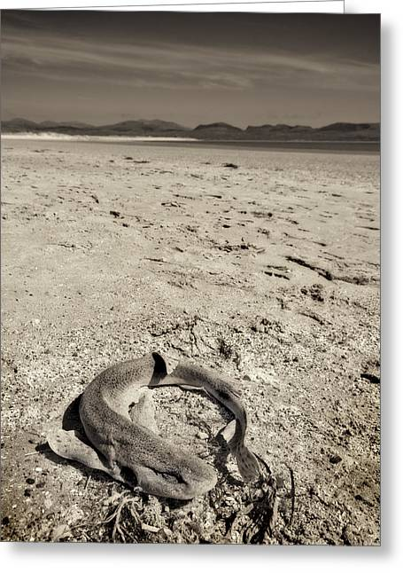 Warm Tones Photographs Greeting Cards - dogfish at Newborough Beach Greeting Card by Meirion Matthias
