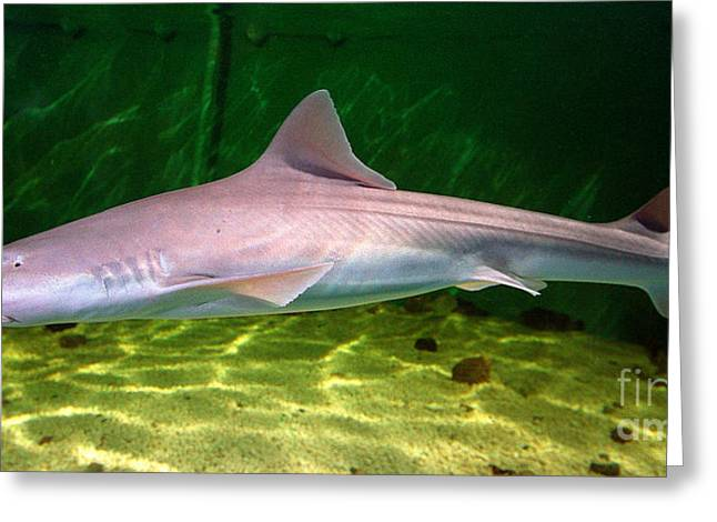 dogfish shark in aquarium Greeting Card by Matt Suess