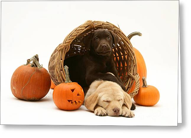 Cute Labradors Greeting Cards - Dogs In Basket With Pumpkins Greeting Card by Jane Burton