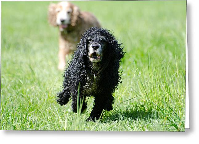 Dog Running. Greeting Cards - Dogs running on the green field Greeting Card by Mats Silvan