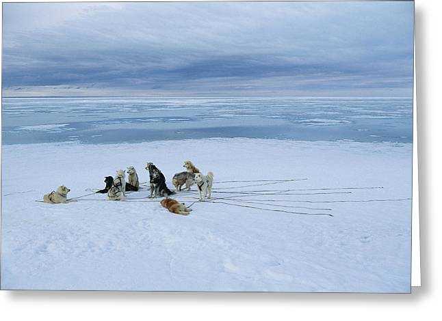 Planet Earth Greeting Cards - Dogsled Dogs At Rest Greeting Card by Norbert Rosing