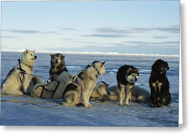 Planet Earth Greeting Cards - Dogsled Dogs Harnessed And Ready Greeting Card by Norbert Rosing