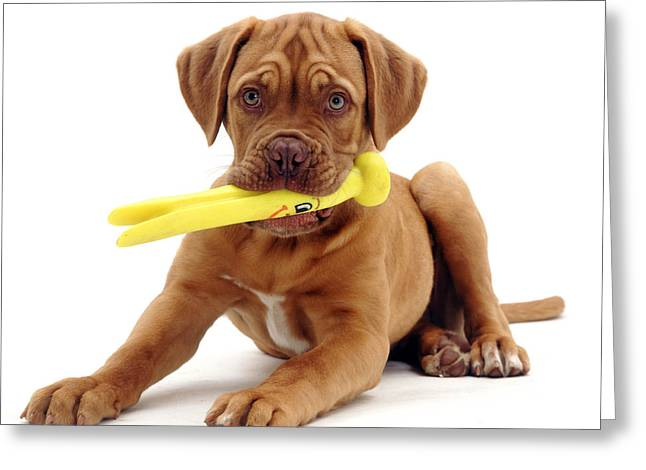 Mastiff Pup Greeting Cards - Dogue De Bordeaux Greeting Card by Jane Burton