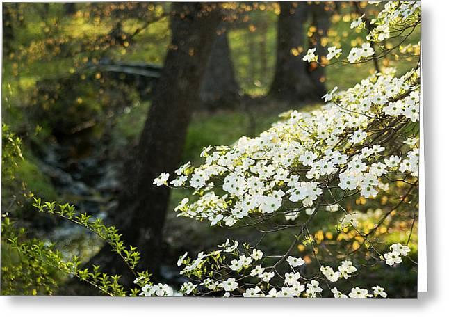 Cornus Greeting Cards - Dogwood and Sunlight Greeting Card by Mark Wagoner
